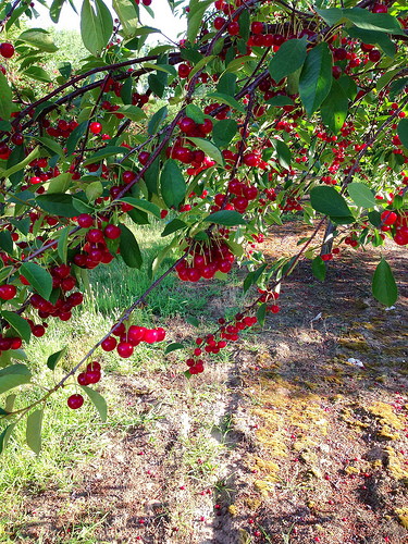 Tart Cherry Trees, Traverse City, MI via LizsHealthyTable.com