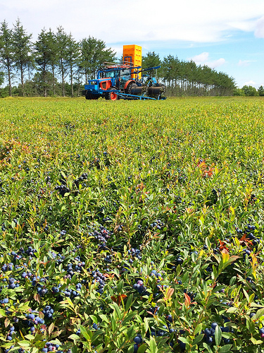 Wild Blueberry Barrens via Lizshealthytable.com
