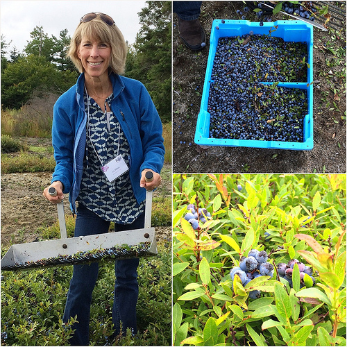 Wild Blueberries of North America via Lizshealthytable.com