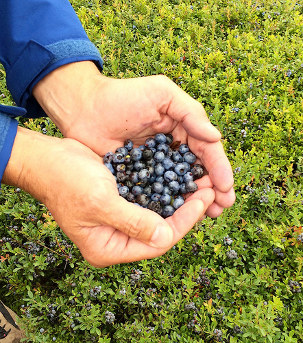 Wild Blueberries via Lizshealthytable.com