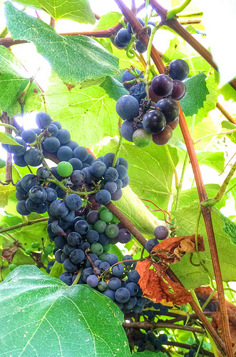 Concord grapes growing at Meadow Mist Farm, Lexington MA via Lizshealthytable.com