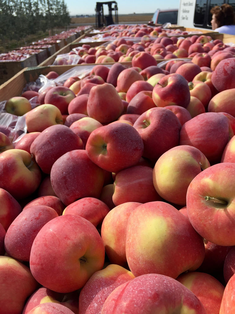 Ambrosia Apples - Apple Orchard Adventure via LizsHealthyTable.com