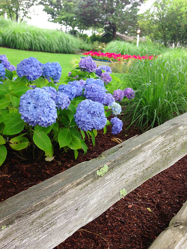 Hydrangea Bushes via Lizshealthytable.com