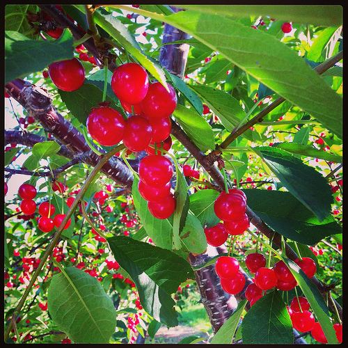 Tart Cherry Harvest in MI via LizsHealthyTable.com